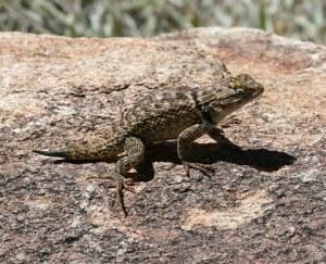 Desert-Spiny-Lizard