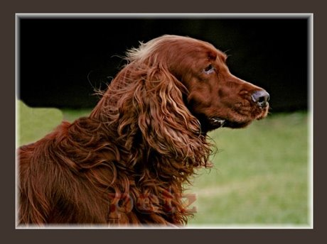 https://taxidistignosi.files.wordpress.com/2013/11/irish-setter-a1-33.jpg